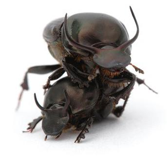 A dung beetle has been named 'world's strongest insect'