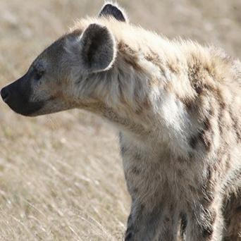 Hyenas use a 'laughing language' to communicate with each other, scientists found