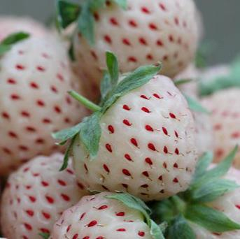 Pineberries, which look like a white strawberry but taste like a pineapple