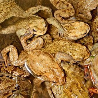 Toads can sense looming earthquakes, research suggested