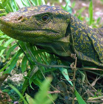 A new giant species of lizard which has been discovered in the Philippines (Joseph Brown)