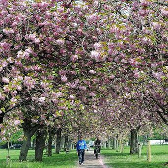 The first ever census of cherry trees in the UK is being undertaken to map where they grow