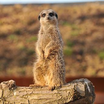 A meerkat is trying to find a partner on an internet dating site