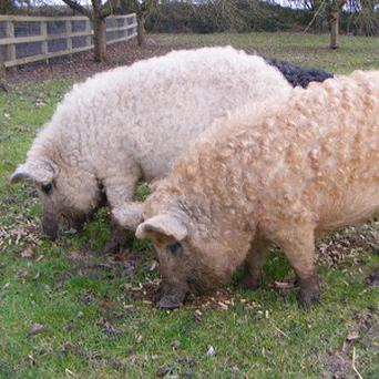 Buddy (left) and Margot - the curly coated Mangalitza pigs at Tropical Wings zoo in Essex