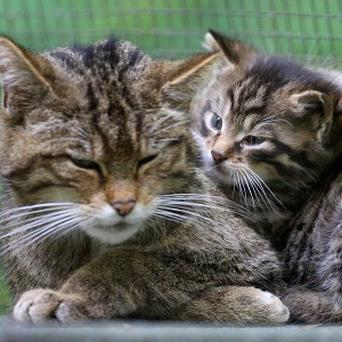 Specialist equipment have been used to trace the movements of the Scottish wildcat