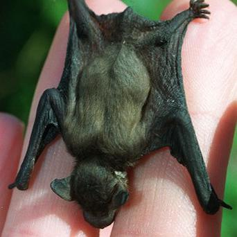 A rare species of bat has been discovered visiting caves in the country