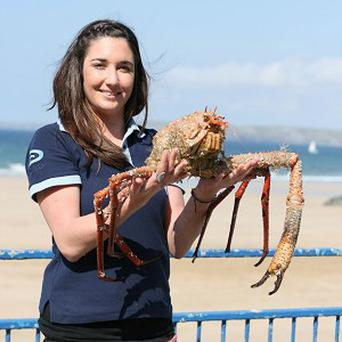 The giant deep-sea crab nicknamed Spud, who was caught a Cornish fisherman, is probably the largest ever found in British waters