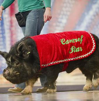 Star the pig took an instant dislike to Britain's Got Talent host Ant