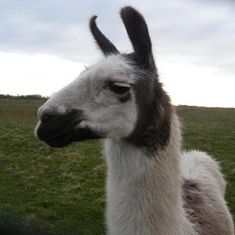 Llama (stock photo)