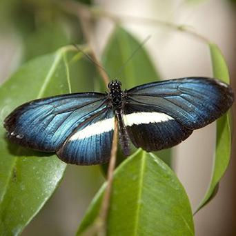 A rare breed of tropical butterfly, the Heliconius Chestertonii at Butterfly World