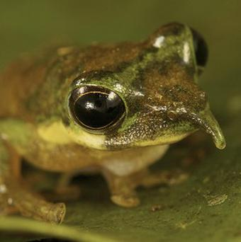 Scientists in Indonesia accidentally found rare species of long-nosed frog