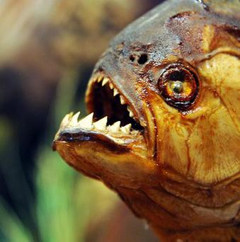 Piranha is regarded as the most ferocious freshwater fish in the world