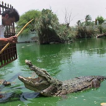 Crocodile was among meats found being smuggled into Paris from Africa
