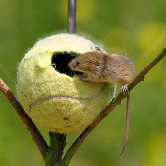 Conservationists hope old tennis balls will make perfect nest houses for the mice