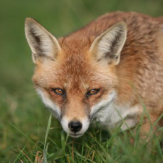 'In the night, a fox comes to a wild garden looking for a drink'