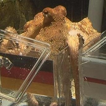 An octopus raised in Germany has predicted a German win over England in Sunday's World Cup game