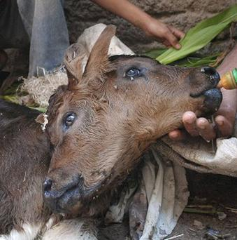 Farmers in Egypt tend to a two-headed calf, which has been hailed as a 'miracle'