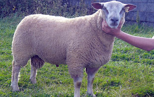 Charollais rams sire easily fed, fast growing, lean lambs with good conformation