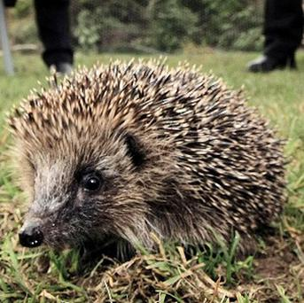 Hedgehogs regularly visit almost a quarter of UK gardens, a survey shows