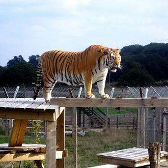Bengal tiger Tanvir has overcome his fear of heights