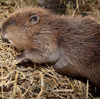There are no beavers in Ireland