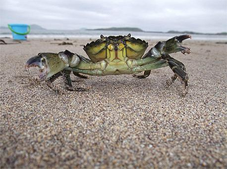 A photograph of a common shore crab taken by John Gorman from Monaleen, Co Limerick, won the adult category in the 2010 National Heritage Week photography competition. Photo: Heritage Council, John Gorman, PA