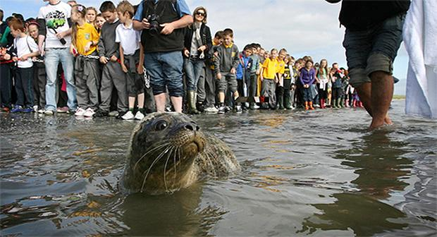 Apricot and Mango make their way down to the water at Dollymount Strand after their release by the Irish Seal Sanctuary at Dollymount Strand. Photo: Frank McGrath