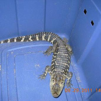 A three foot-long alligator has been seized from a NY liquor store (AP Photo)