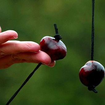 A conker competition could be called off after a hopeless harvest of horse chestnuts
