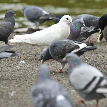 Pigeons feel the urge to gamble just like humans, scientists suggest