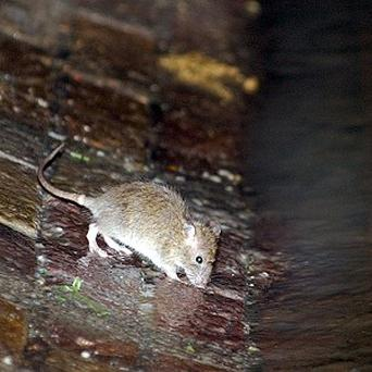 A rat feasts on the sewage in a sewer