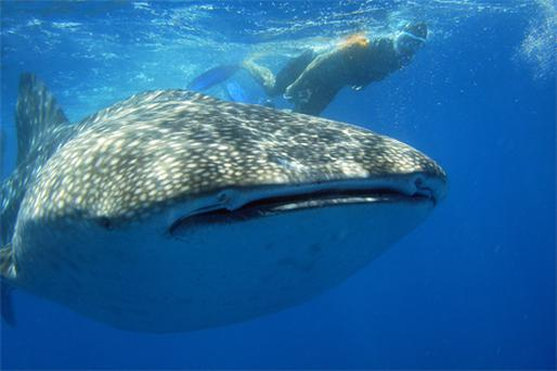 Vanishing: A whale shark at Ningaloo Reef off Australia's west coast