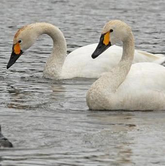 Riso and Risa, two of the Bewick's swans which have returned to Slimbridge