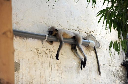 A langur monkey takes a nap on a PVC pipe in Ahmedabad, India