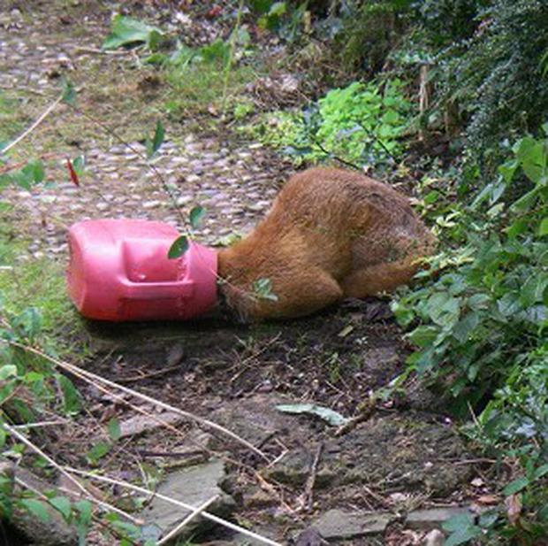 This male fox had his head stuck in a discarded watering can
