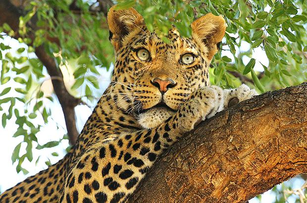 A leopard looks out from a tree at the Mashatu game reserve in Mapungubwe, Botswana. Photo: Getty Images