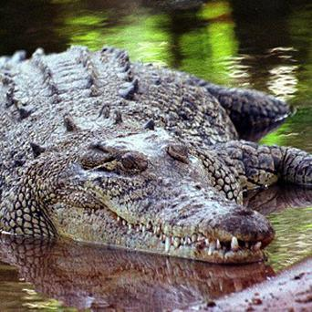 A plane crash which killed a British pilot and 19 others could have been caused by an escaped crocodile, it has been reported