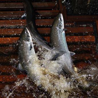 A truck carrying salmon crashed in Tasmania, spilling 15 tons of fish into the street