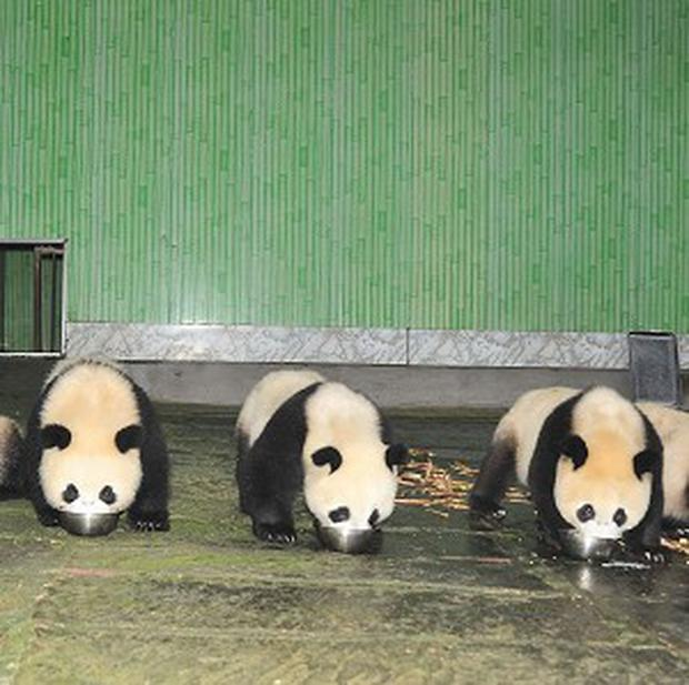 China's panda population is booming this year thanks to a record number of births in captivity (AP)