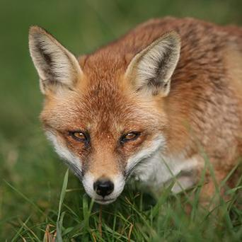 A man is thought to have been attacked by a fox as he lay unconscious in a cemetery in Inveresk