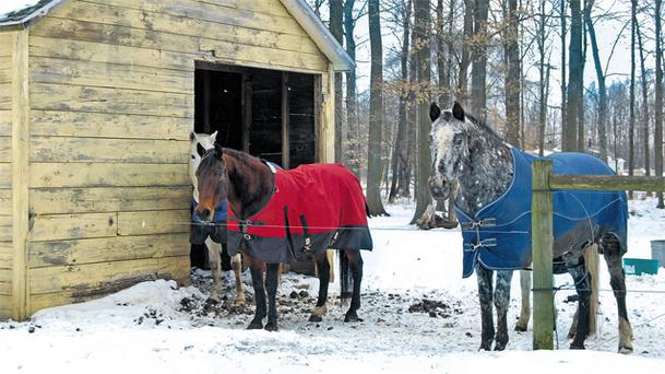 While a native breed with a good winter coat might not need a rug, a thin-skinned thoroughbred could do with some help from a suitable outdoor rug