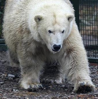 Until now Mercedes was the only polar bear in a UK zoo