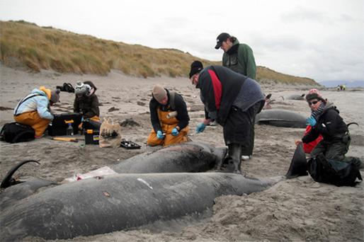 Investigators from the Irish Whale and Dolphin Group with some of the 32 pilot whales that came ashore at Rutland Island near Burtonport, Co Donegal