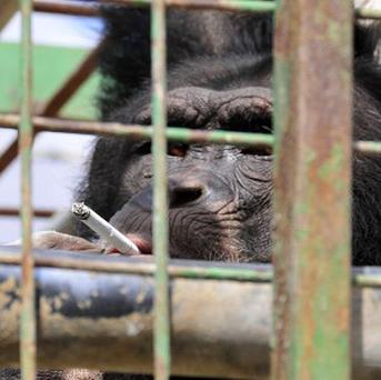Omega, a 12-year-old chimpanzee, smokes a cigarette in his cage in a zoo in the village of Ansar (AP/Animals Lebanon)