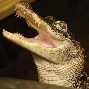 A man has caught a record-breaking 14ft alligator in Florida
