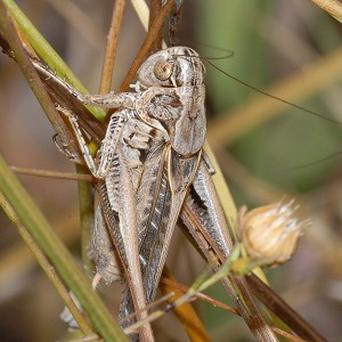 A male Tuberous bushcricket, Platycleis affinis
