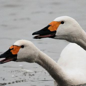 Swans Sarindi (left) and Sarind at Slimbridge Wetland Centre, in Gloucestershire