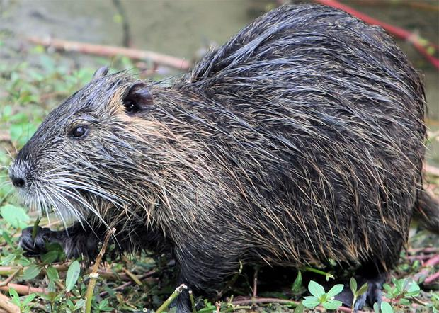 The swamp rat represents a threat to the fragile ecosystem along the Gulf Coast