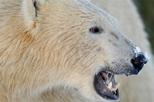 Polar bears are among those animals whose habitats are threatened by global warming