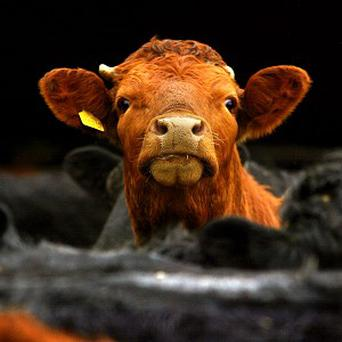 Police officers in Nottinghamshire had a lucky escape after a rampaging cow charged at them